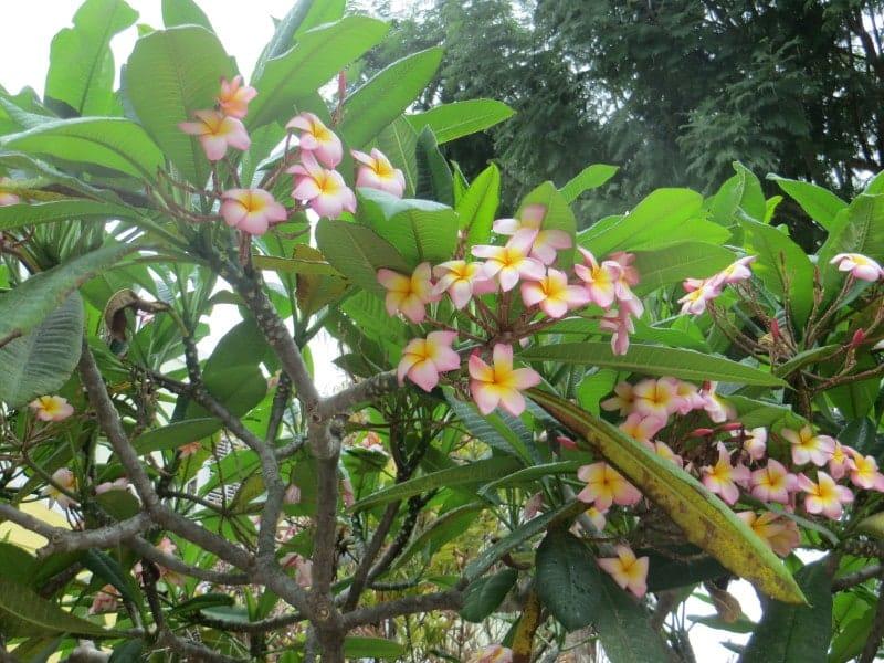 Die typischen Bermuda Blumen